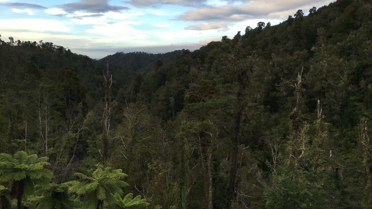 Tui, Kahurangi Ridge, Karamea